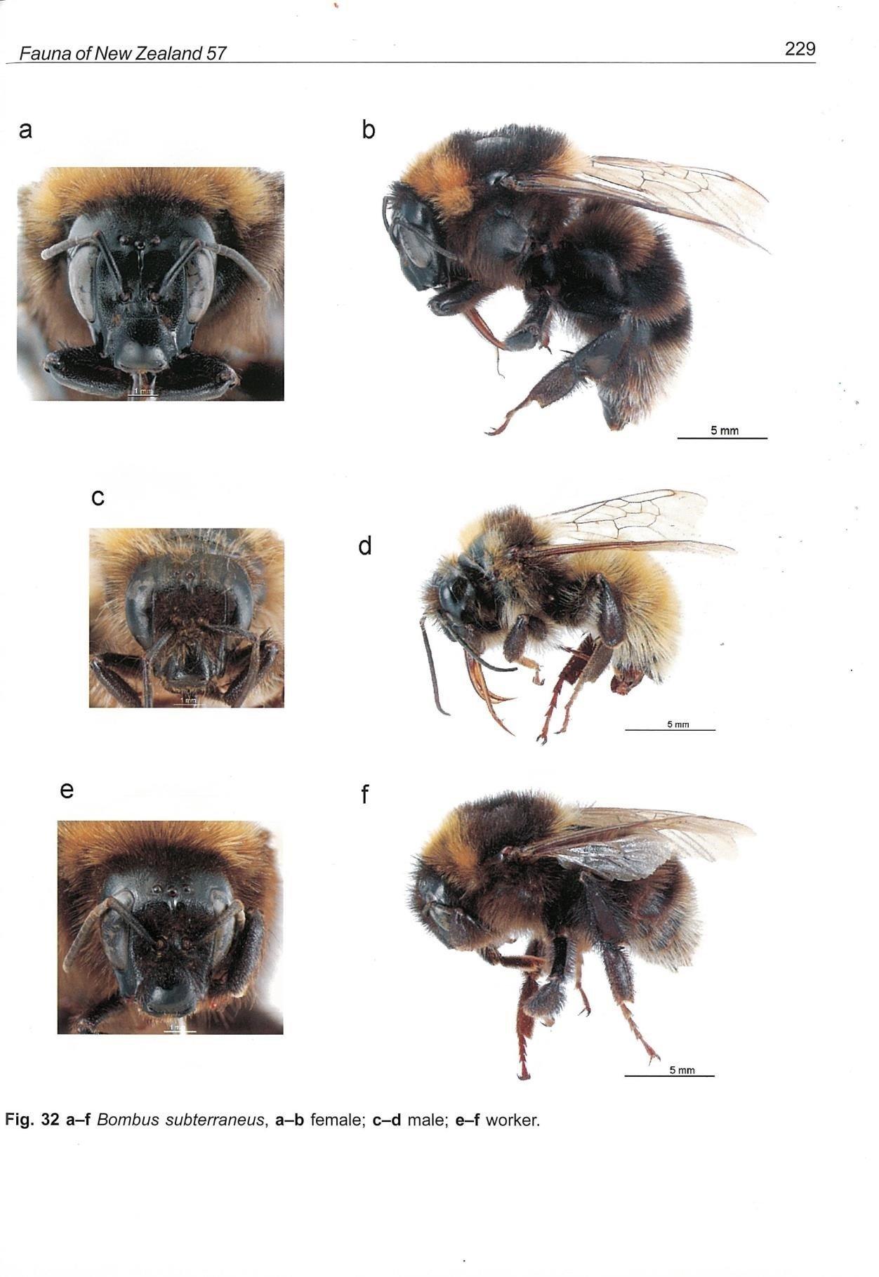 Close ups of Bombus Subterraneus bee