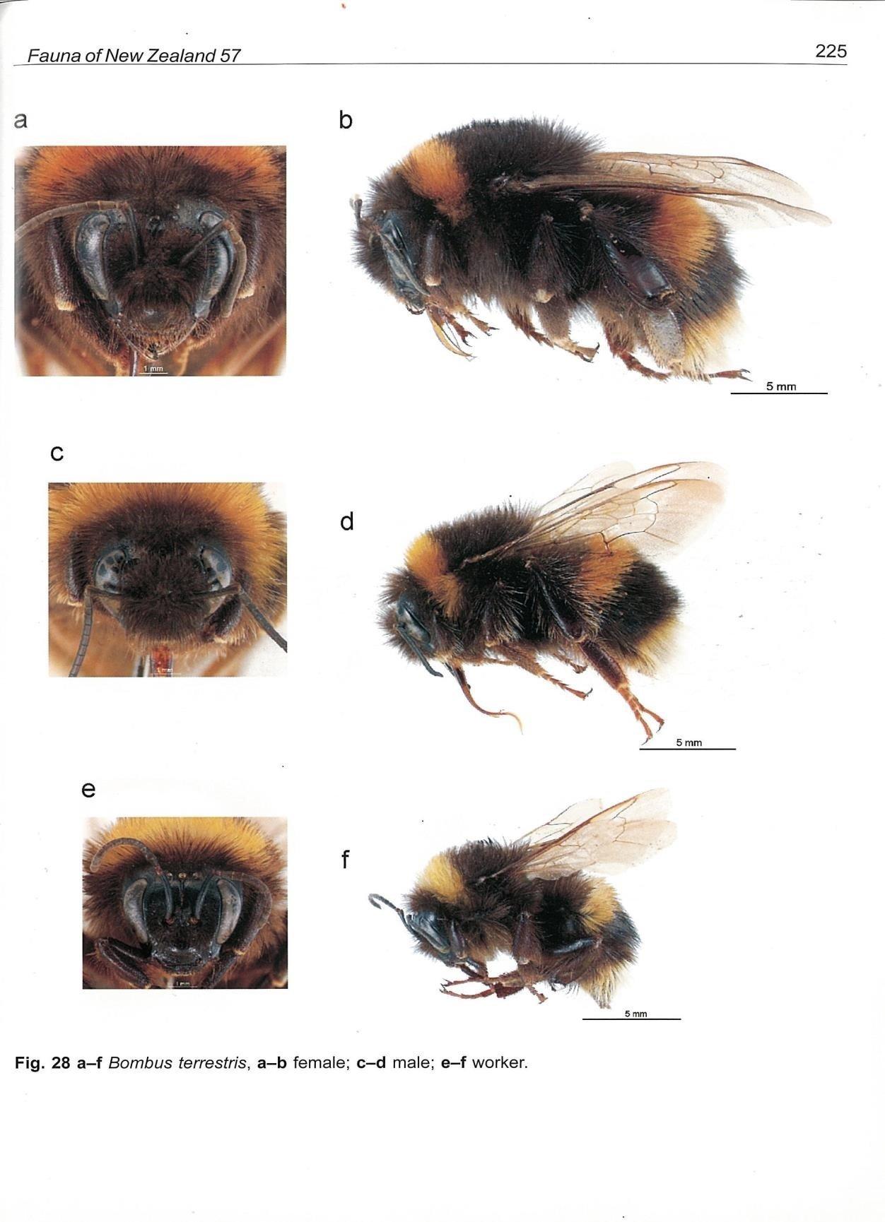 Close ups of Bombus Terrestris bee