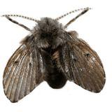 Drain Sewage Fly
