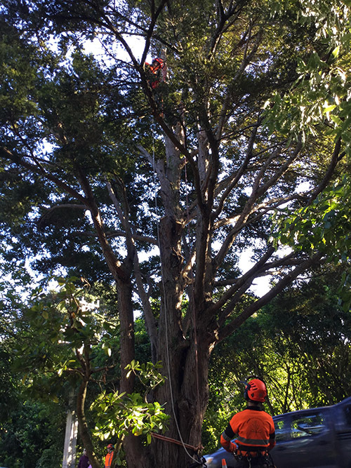 tree surgeon cutting large tree branches