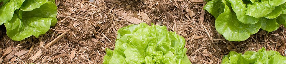 Cabbages surrounded by wood chip