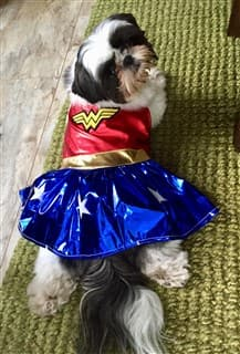Shih Tzu in Wonder Woman costume