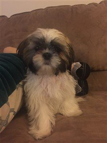 13 week old Shih Tzu puppy