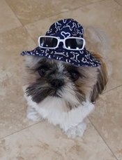 shih tzu wearing a hat