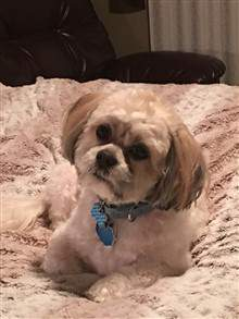 4 year old Shih Tzu