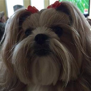 pretty Shih tzu girl