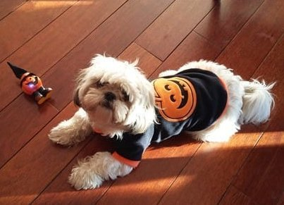 Shih Tzu in pumpkin shirt