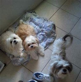 3 Shih Tzu dogs in one house