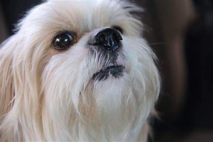 adorable Shih Tzu 5 years old