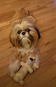 Shih Tzu playing with toy