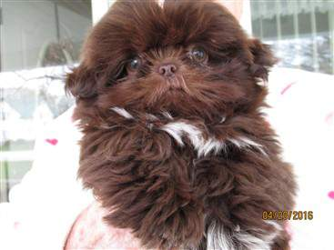 baby shih tzu liver brown coat