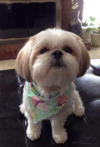 shaved shih tzu the cutest shih tzu photo gallery 7074