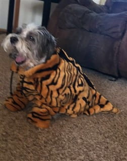small dog tiger costume
