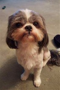 Shih Tzu 5 years old close shave