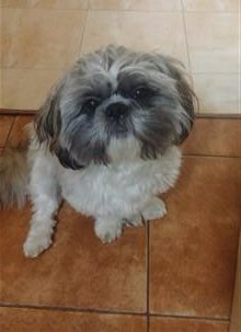 1 year old Shih Tzu