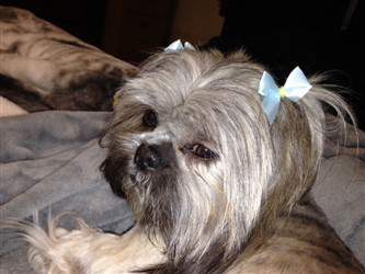 female shih tzu with bows