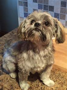Shih tzu with short hair cut