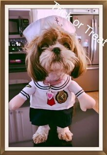 image 1, Shih Tzu dressed as sailor