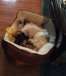 little Shih Tzu puppy resting