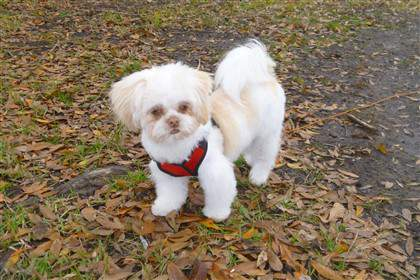 liver shih tzu with red harness