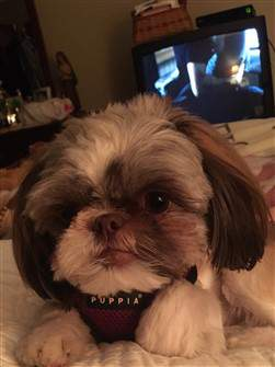 liver shih tzu with harness on
