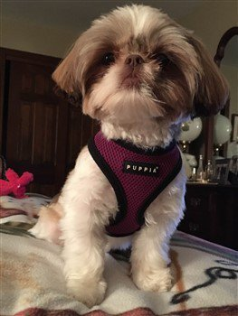 shih tzu collar shih tzu collars and harnesses choosing the right one 6138