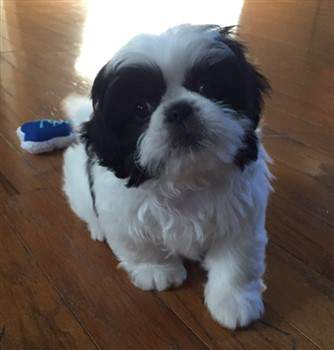 9 week old black and white shih tzu puppy