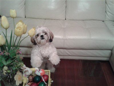 Shih Tzu on Easter