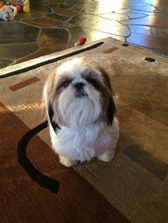shih tzu 1 years old on carpeting