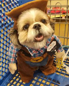 Shih Tzu in Cowboy Costume