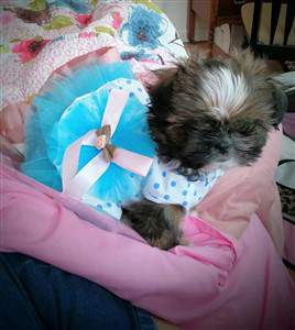 Shih tzu puppy in dress