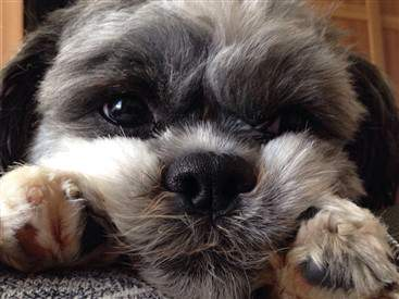 Shih tzu face closeup