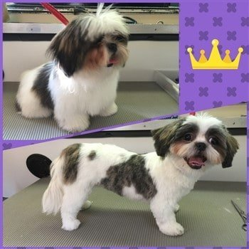 shih-tzu-hair-cut-before-and-after