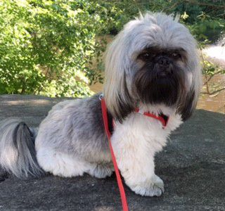 shih tzu, full head, on harness