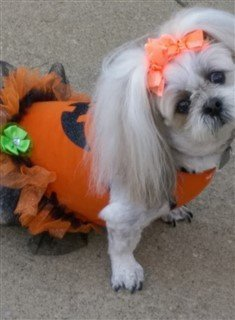 shih-tzu-princess-pumpkin-costume.