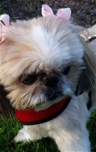 Shih Tzu with harness, red