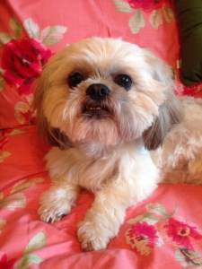 Shih Tzu dog 7 years old