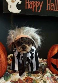 Shih Tzu Beetlejuice dog costume