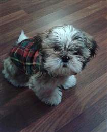 3 month old Shih Tzu puppy