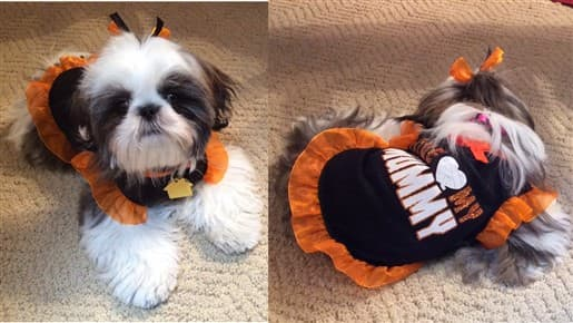 shihtzu-in-costume-003
