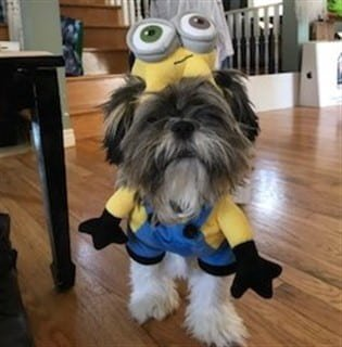 Shih Tzu in Minion costume