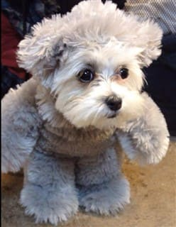 Shih Tzu Teddy Bear costume