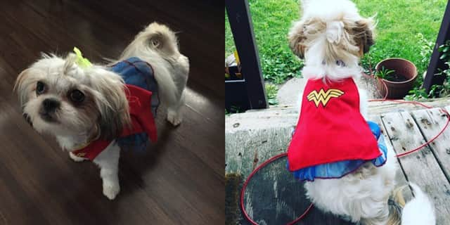 Shih Tzu Wonder Woman costume
