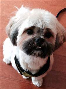 small harness on shih tzu
