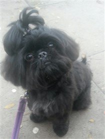 solid black Shih Tzu