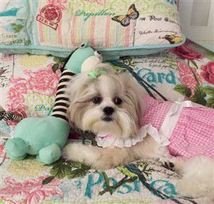 super cute shih tzu
