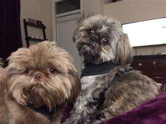 two shih tzu with harnesses