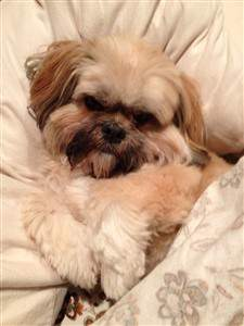 very cute Shih Tzu 7 years old
