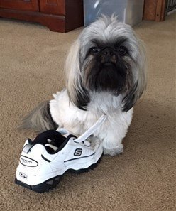 white gray black shih tzu dog