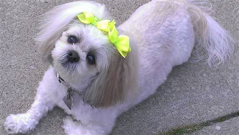 yellow bow in shih tzu